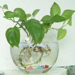 Baidu 绿萝 money plant algorithme SEO AUTOVEILLE